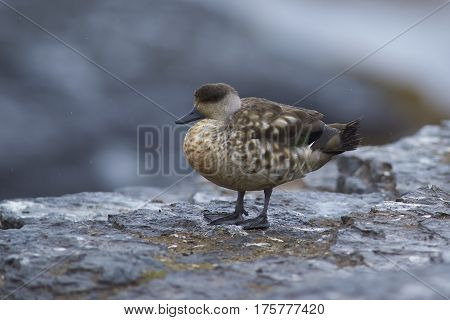 Crested Duck (Lophonetta specularioides specularioides) standing on the cliffs of Bleaker Island in the Falkland Islands.