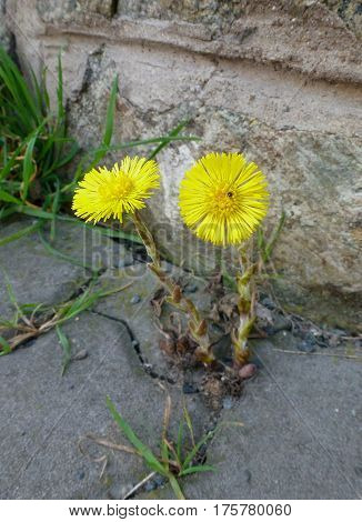 Photo of the coltsfoot growing on a pavement