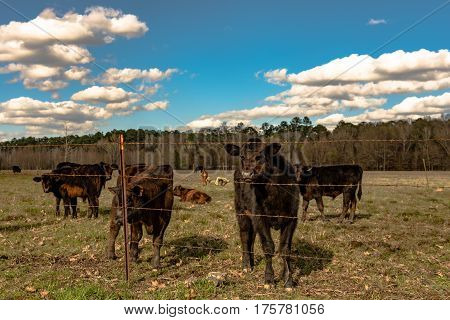 Black Angus crossbred calf looking at the camera with other calves in the same springtime pasture