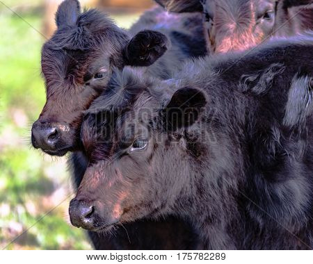 Two black Angus crossbred heifers with rough winter coats