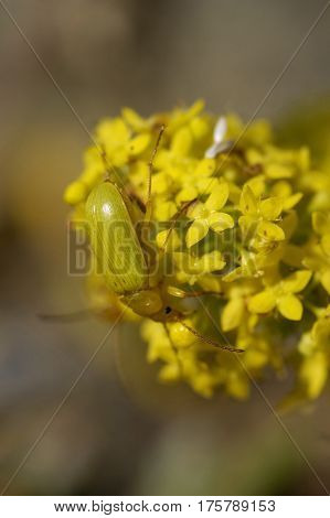 Sulphur Beetle On Lady's Bedstraw