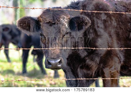 Black heifer with rough winter coat looking through a barbed wire fence