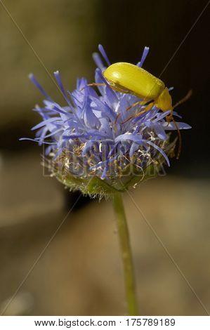 Sulphur Beetle On Sheepsbit