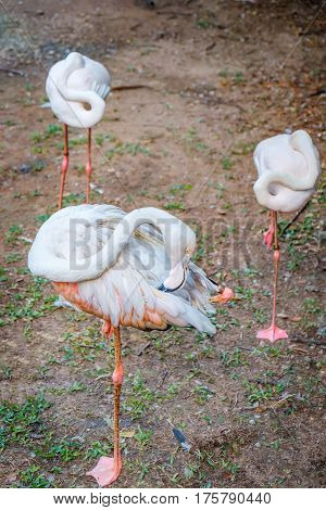 Pink Flamingos or Greater Flamingos clean the feathers in Kuala Lumpur Bird park, Malaysia