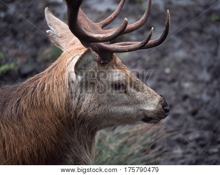 Close-up of red deer stag in Galloway park, UK
