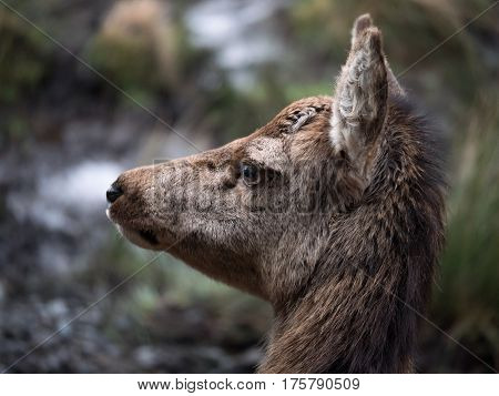 Close-up of female red deer in Galloway park, UK