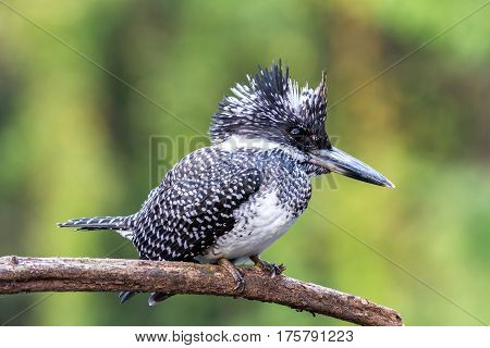 Bird color back and white of Kingfisher Bird Crested Kingfisher ( Megaceryle lugubris ) Standing on the branch showing it back profile in real nature of Thailand Very rare bird in Thailand