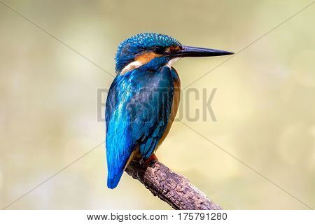 Bird common Kingfisher (Alcedo atthis) a beautiful color