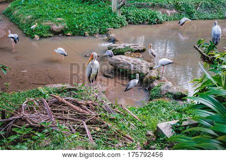 Yellow-billed stork or Mycteria ibis in a pond of the Kuala Lumpur Bird park, Malaysia. Birds fishing in shallow muddy river water with river and grasses in background