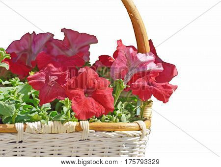 In the basket planted beautiful flowers.They are called petunias.