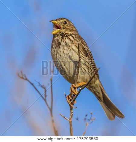 Corn Bunting Singing From High Position