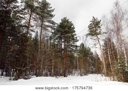 Landscape of high pine trees in the Northern forest, majestic nature of the Northern taiga. Coniferous trees with red bark grows in North America, Europe, and the Arctic.