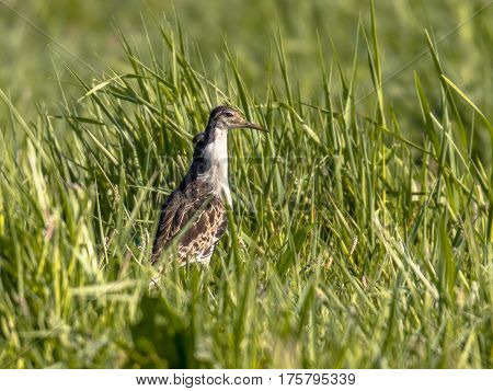 Male Ruff On Migration