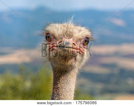 Potrait Of An Ostrich
