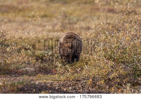 a grizzly bear feeding on berries in the fall in Denali National Park