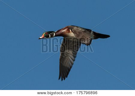 Wood Duck in flight with a clear blue sky.
