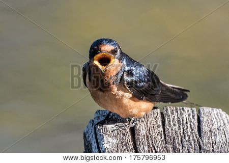 Barn Swallow sitting on a post explaining how things are.