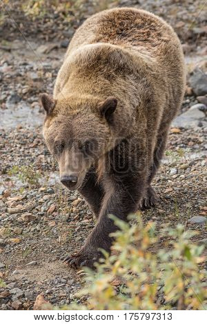 a grizzly bear in Denali National park Alaska