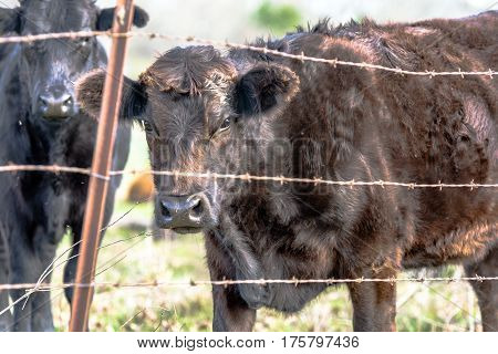 Black Angus crossbred cows standing behind a barbed wire fence