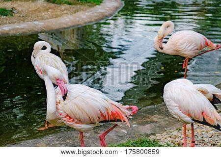 Pink Flamingos or Greater Flamingos preening its feathers Kuala Lumpur Bird park, Malaysia