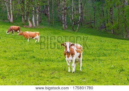 Summer landscape with cows grazing on fresh green mountain pastures. Lauterbrunnen Switzerland Europe.