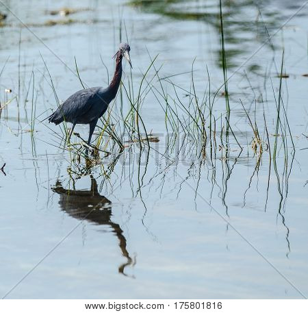 a little blue heron wading in a pond looking at the camera with reflections in the water