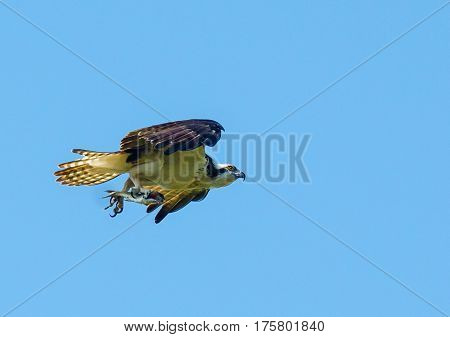 An osprey flying carrying a fish in its talons