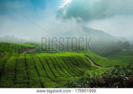 Cameron highlands Tea fields , Malaysia landscape, mountain, sky, nature, forest