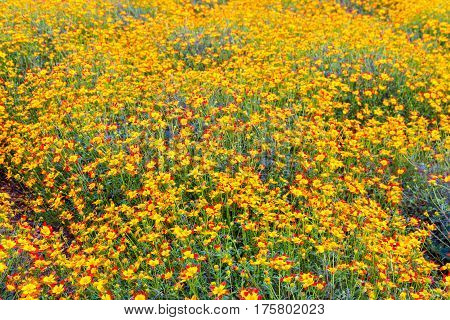 Yellow-red daisy flowers summer flower garden background. selective focus shallow dof