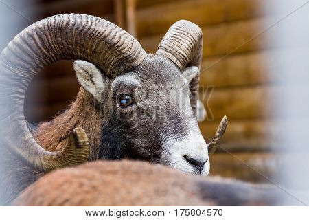 Wild Sheep. Clouse-up.