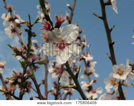 white plum blossoms are seen close up on a twig against a robin's egg blue sky