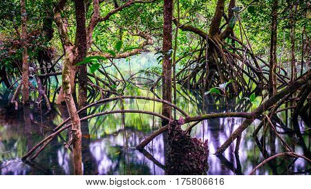 Fig tree roots in water in the old rainforest near Cape Tribulation, Queensland, Australia