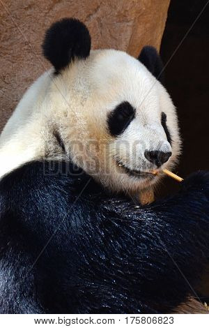 giant black and white panda gnawing on a bamboo shoot