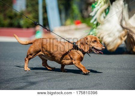 Small dachshund pulling on leash during walk.