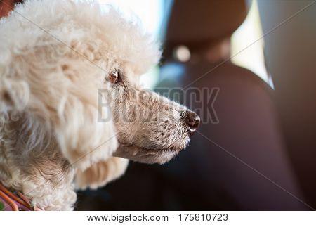 Poodle Dog In Car