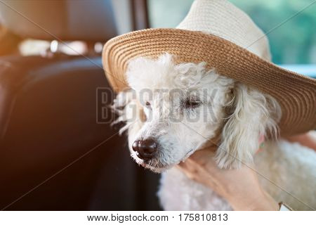 White Poodle In Wide Hat
