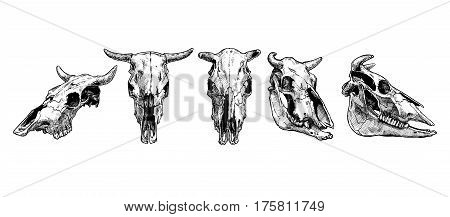 Vector illustration set of bull and cow skull stylized as engraving. Profile full face and three-quarter views.