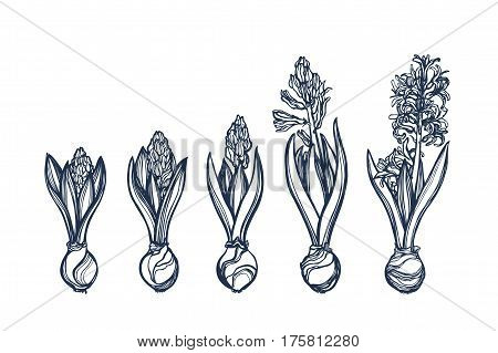 Hyacinthus. Genus Asparagus plant family. Spring Flower. Botanical illustration. Phase flowering bud of the flower. Set, collection. Hand drawn.