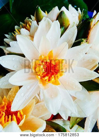 Fresh white lotus flower with droplets of water