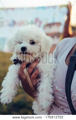 Girl's hand holding small white Shih Tzu dog