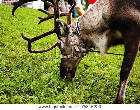 deer on leash with collar eating green grass, beauty big horns close up