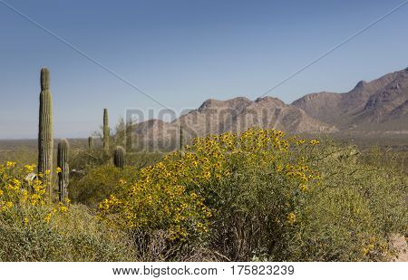 Yellow daisy desert wildflower in America's Southwest. Location is Picacho Peak State Park Eloy Arizona USA. Common flowering shrub with silver gray leaves on arid lands. Date is March 10 2017.