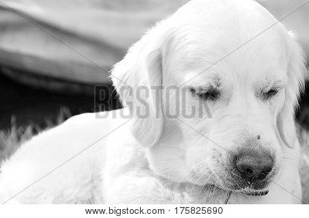 Puppy of Golden Retriver have a sad mood