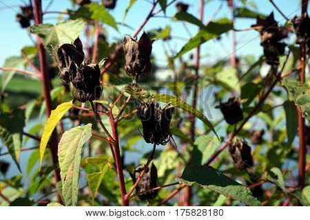 Seed pods hang onto Halberd-leaved rose mallow plants (Hibiscus laevis) next to a small lake in Joliet, Illinois during September.
