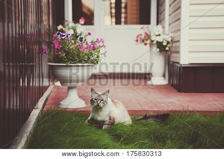 Feline animal pet siamese domestic cat walking outdoor on green grass