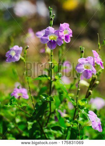 Laurel Clockvine, laurel-leaved thunbergia, blue trumpet vine, kar tuau, rang jeud, or Thunbergia laurifolia
