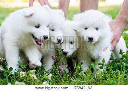funny puppies of Samoyed dog , or Bjelkier