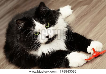 Big adult cat playing with a toy
