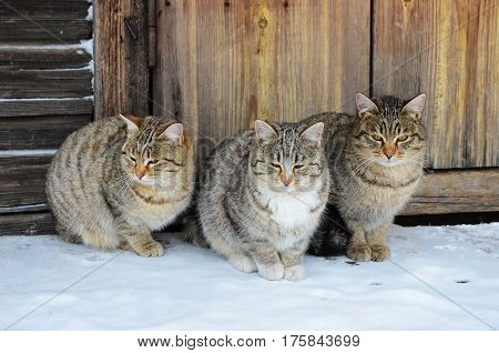 Three identical cats sit on a wooden porch in winter