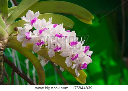 The white and violet orchid flower in the garden